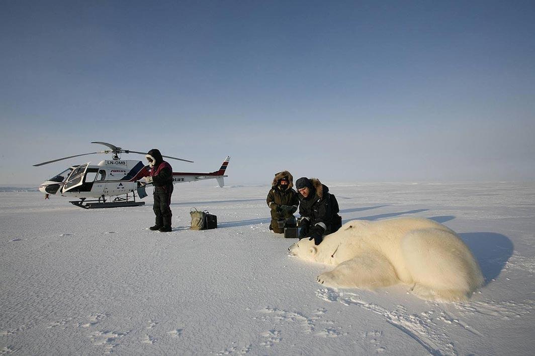 Jon Aars bada uśpionego niedźwiedzia