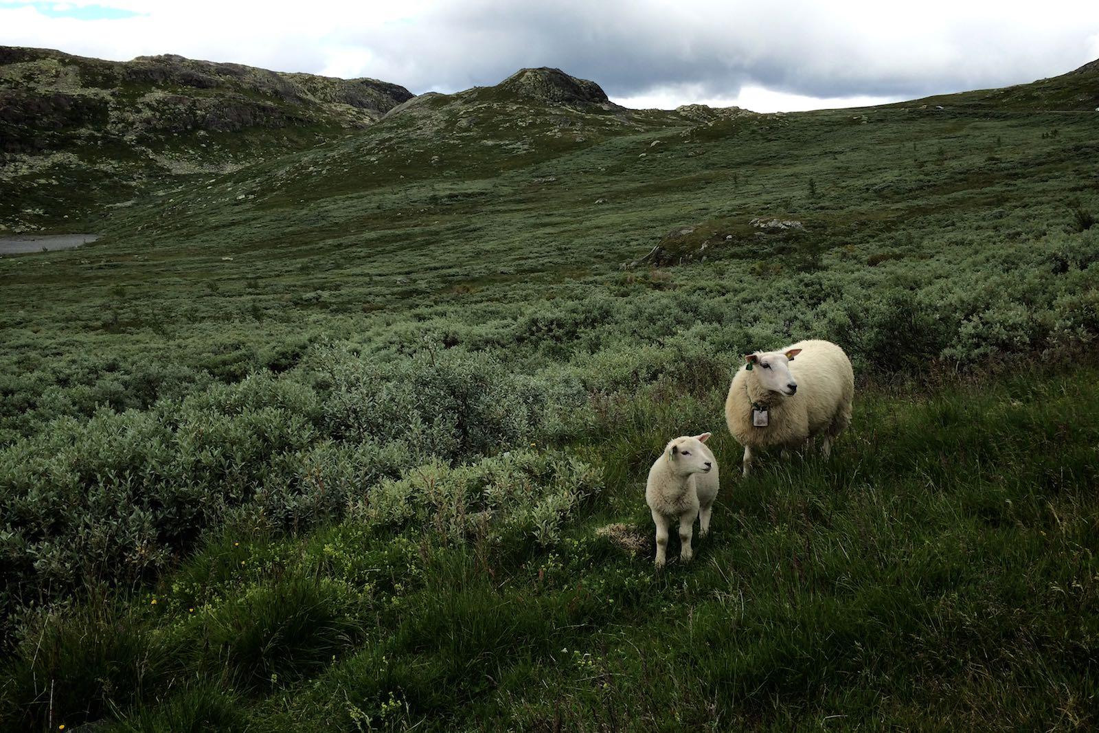 Owce w okolicach Gaustatoppen